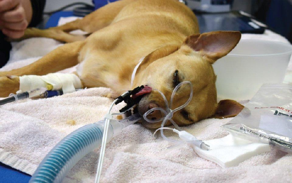 Cane morto dopo operazione sbagliata