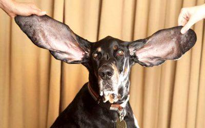 Il cane con le orecchie più lunghe del mondo
