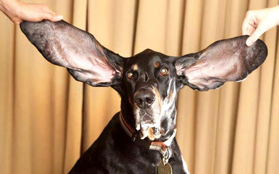 Il cane con le orecchie più lunghe del mondo è Harbor