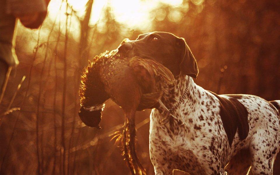 Foto decorativa per la pagina assicurazione cane da caccia